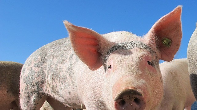 Comprar carne ecológica de cerdo